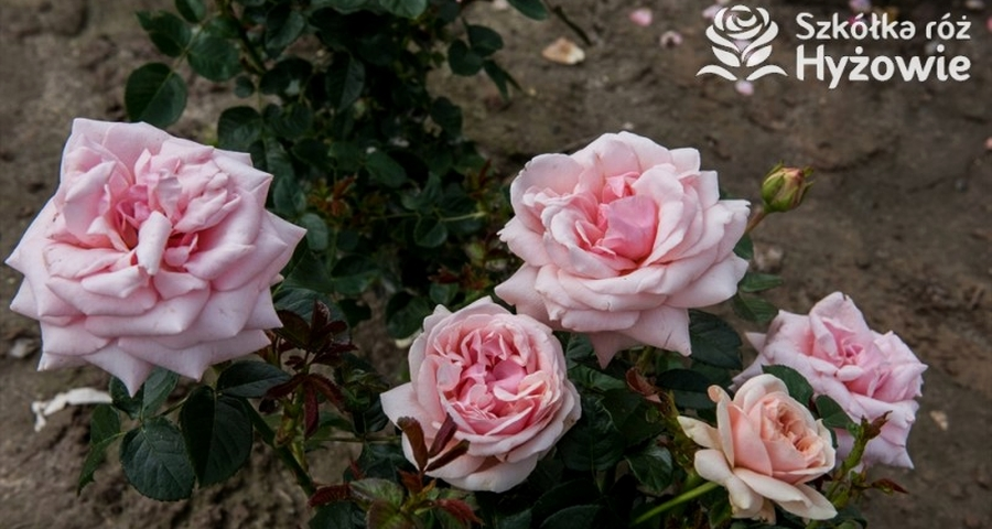 sadzonki róż z certyfikatem ADR - Szkółka Róż Hyżowie